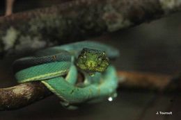 Image of Green Jararaca