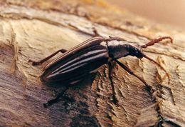 Image of <i>Solenoptera sulcicollis</i> Thomson 1861