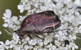 Image of <i>Cetonia <i>aurata</i></i> ssp. aurata