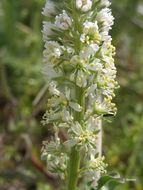 Image of white mignonette