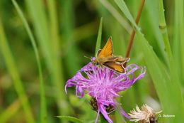 Image of Essex Skipper