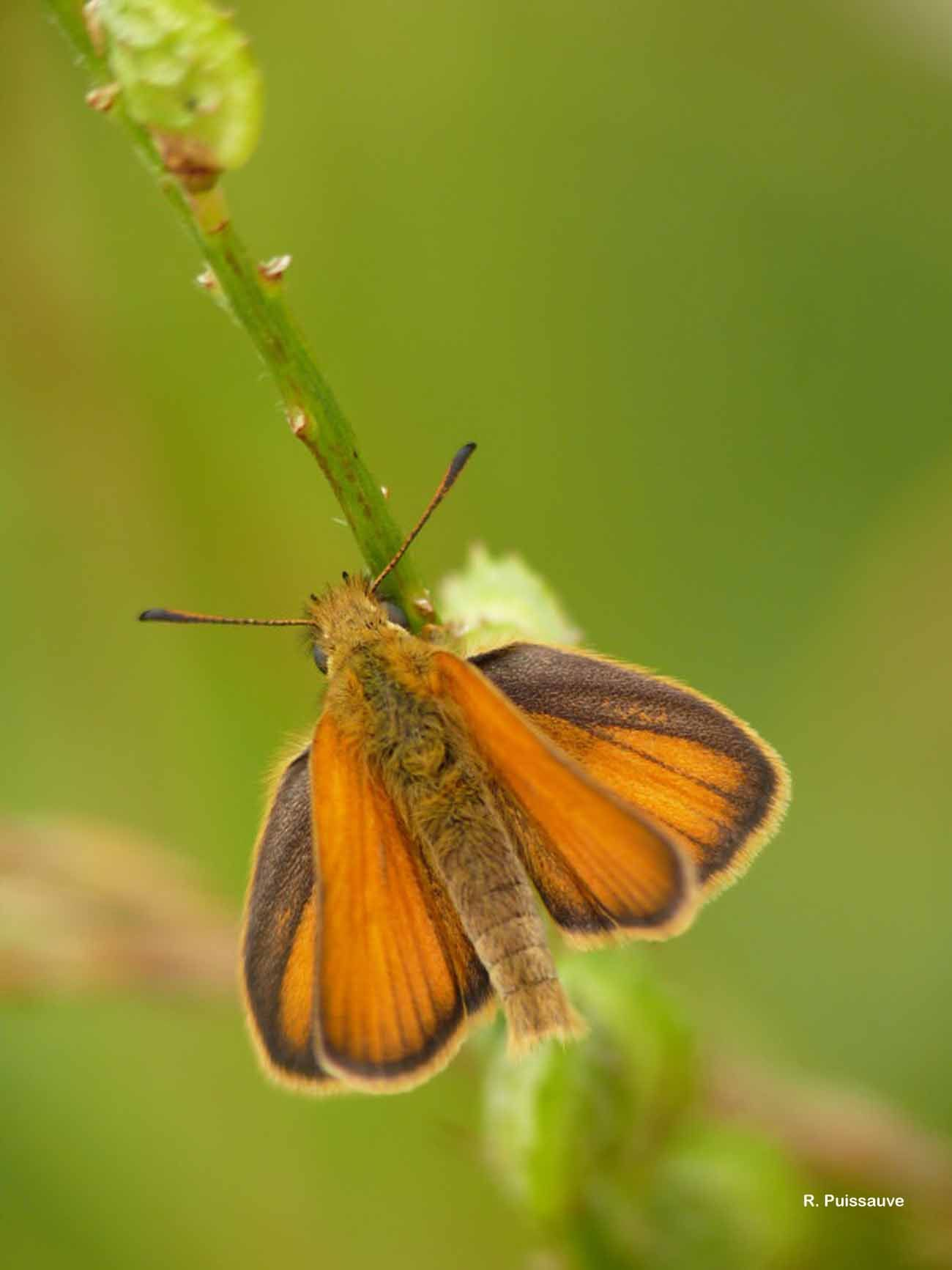Image of Small Skipper