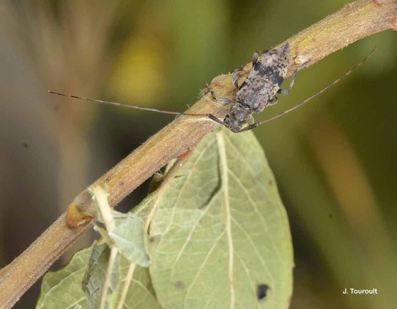 Image of <i>Leiopus femoratus</i> Fairmaire 1859