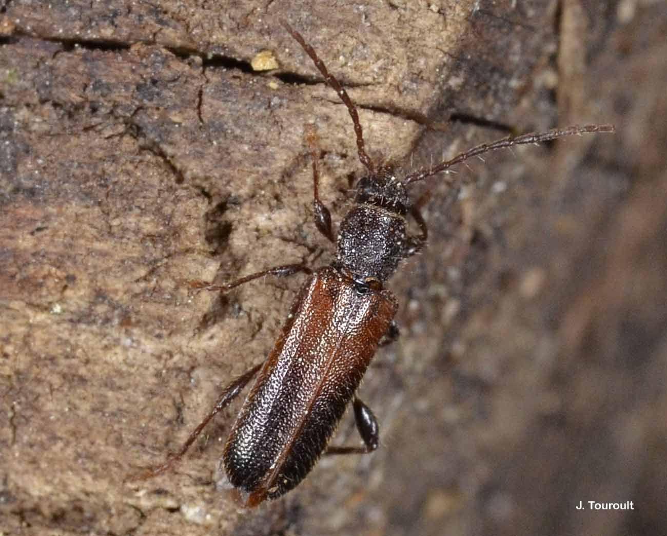 Image of <i>Poecilium</i> (<i>Phymatoderus</i>) <i>glabratum</i> (Charpentier 1825)