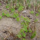 Image of <i>Mahonia aquifolium</i>