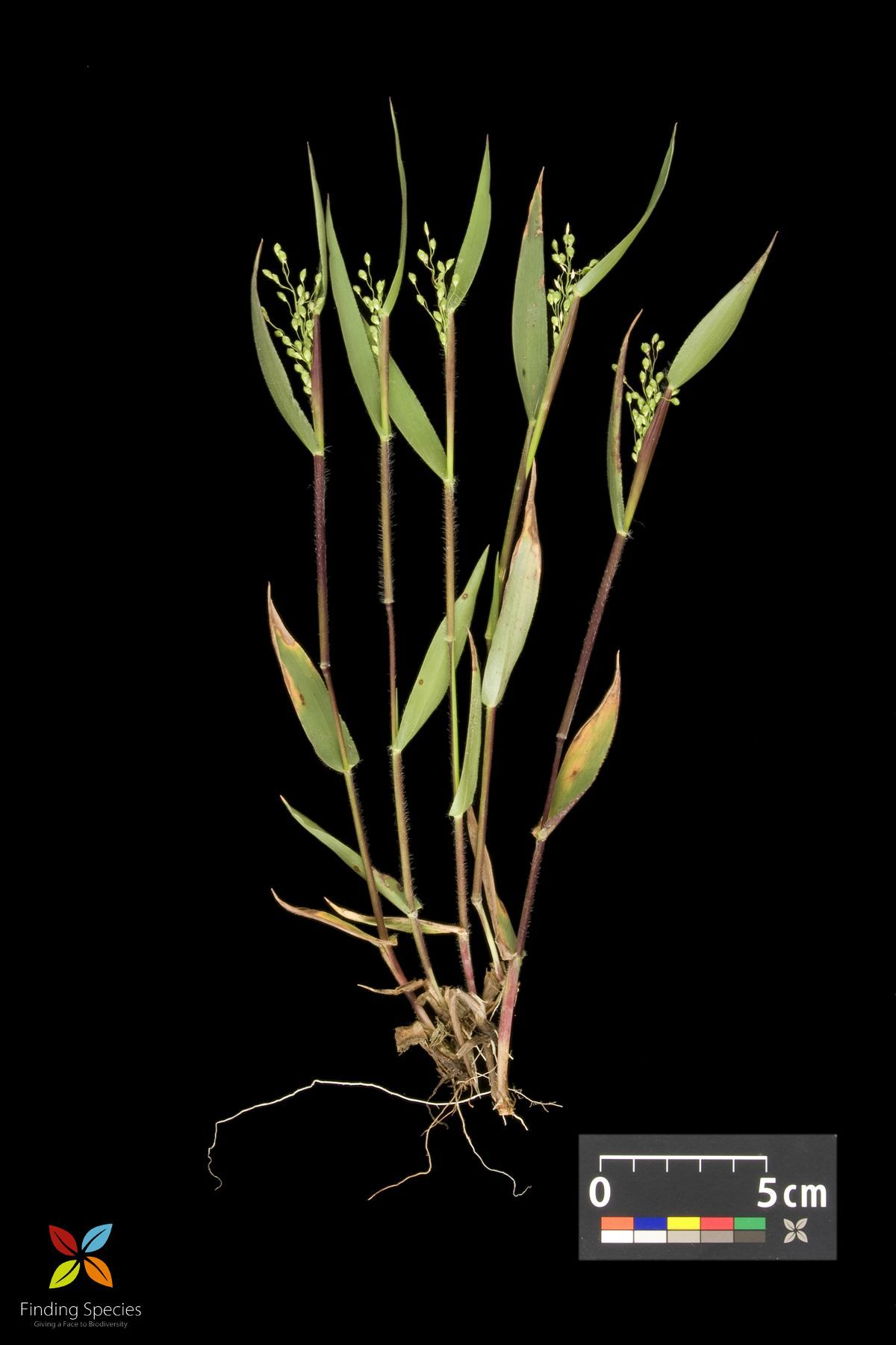 Image of <i>Panicum oligosanthes</i> Schult.
