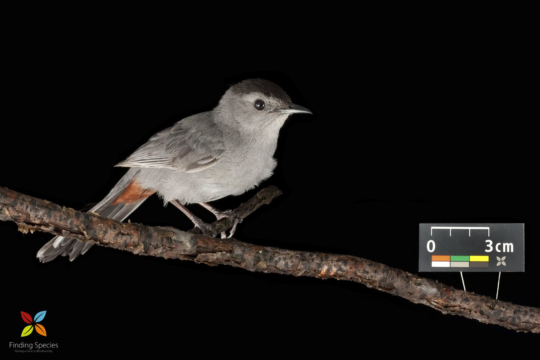 Image of Grey catbird