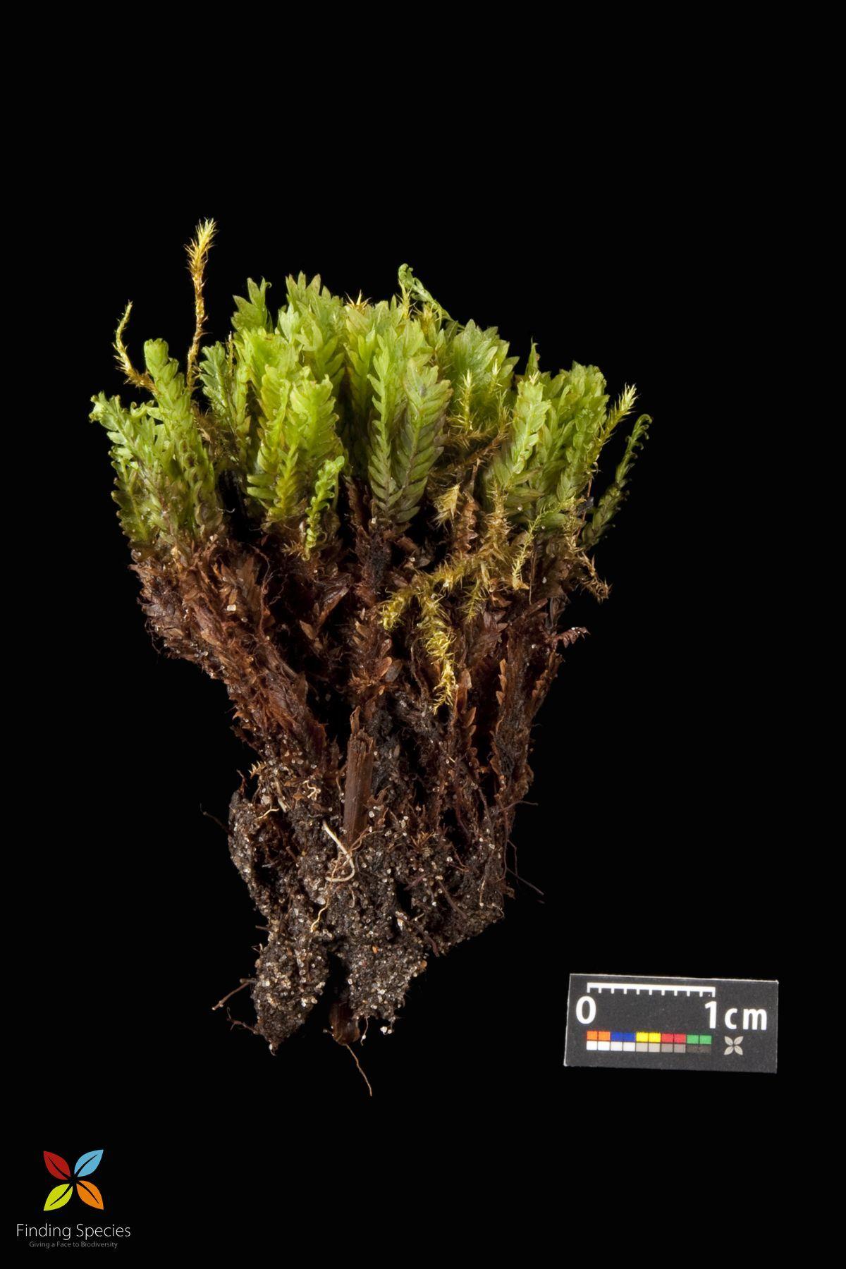 Image of <i>Fissidens adiantoides</i>