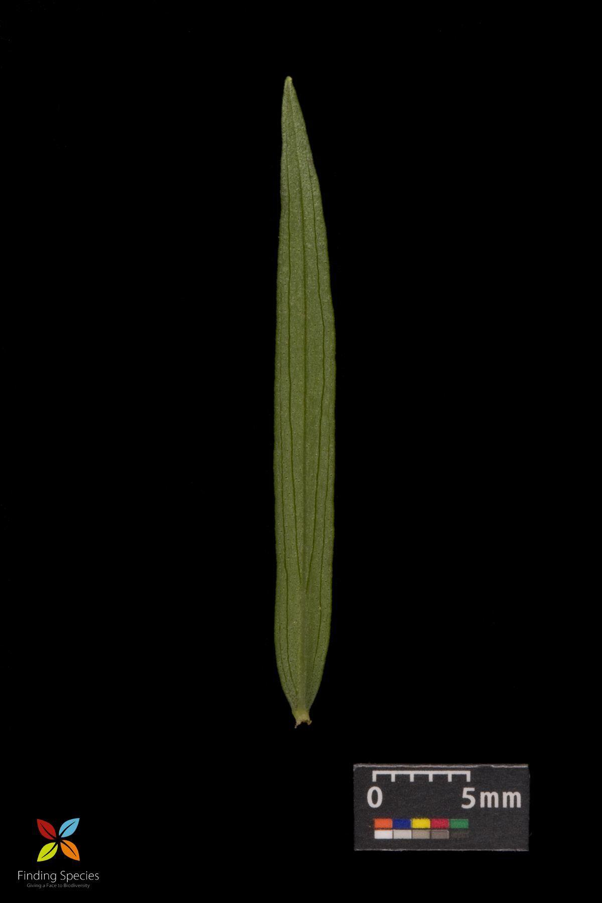 Image of <i>Pycnanthemum virginicum</i>