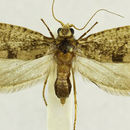 Image of Aglossata