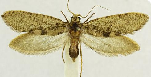Image of <i>Agathiphaga vitiensis</i> Dumbleton 1952