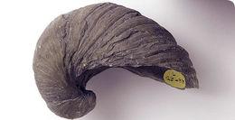 Image of gryphaea obliquata