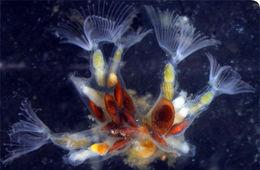 Image of Freshwater bryozoan