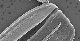Image of <i>Nitzschia sigmoidea</i>