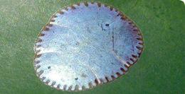 Image of <i>Paralecanium expansum</i> Fernald 1903