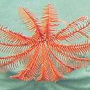 Image of <i>Proisocrinus ruberrimus</i> A. H. Clark 1910