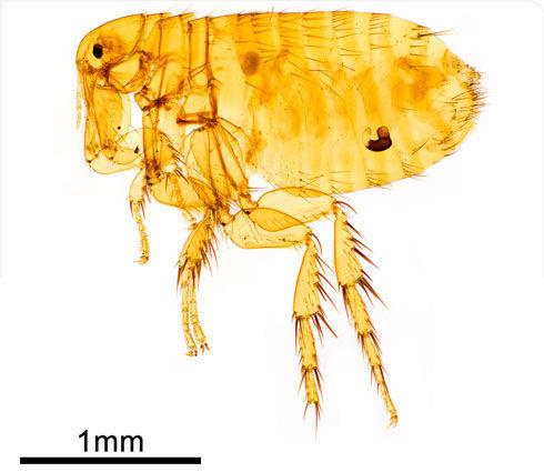 Image of Oriental rat flea