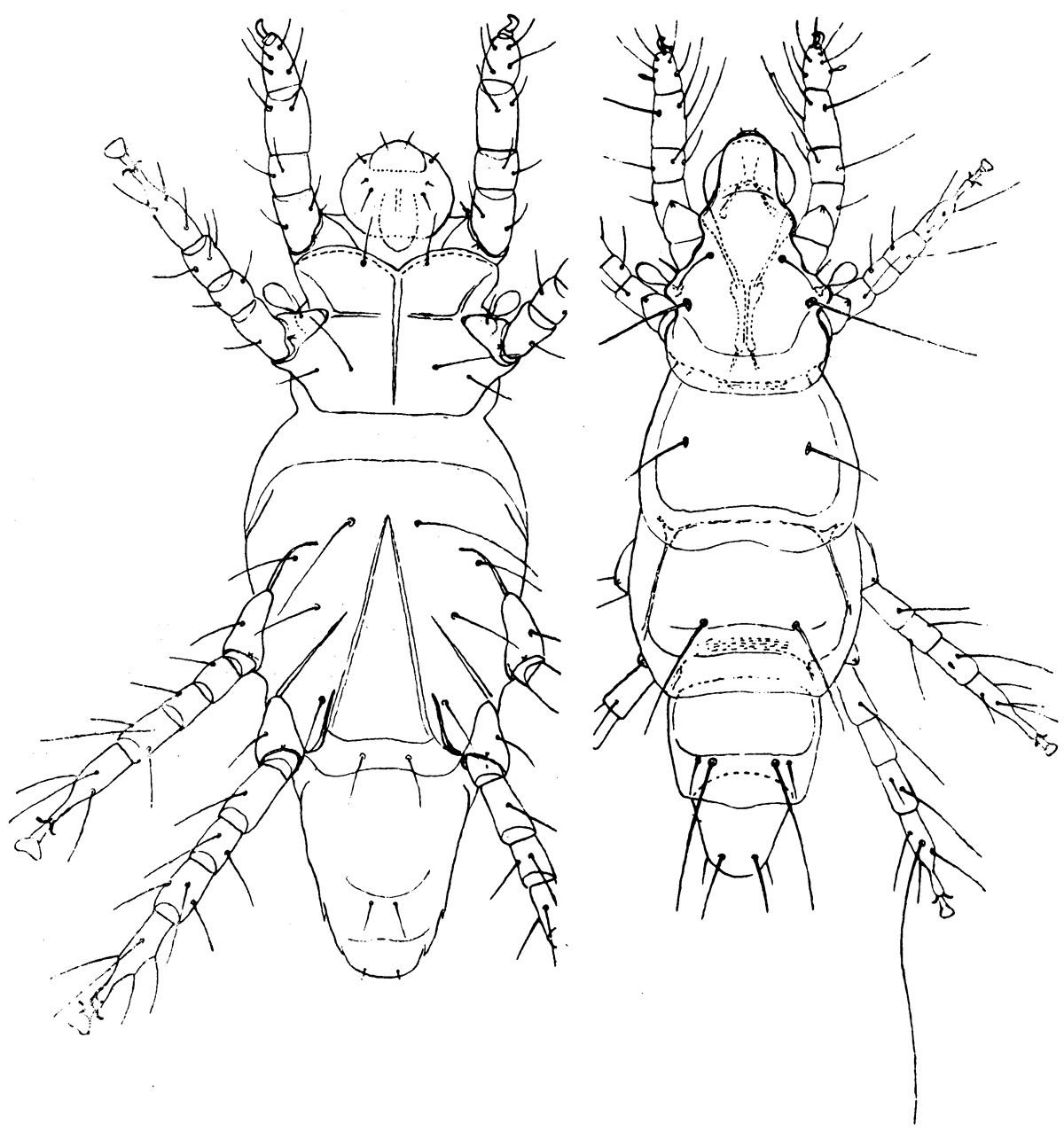 Image of Pediculouides Herfsi