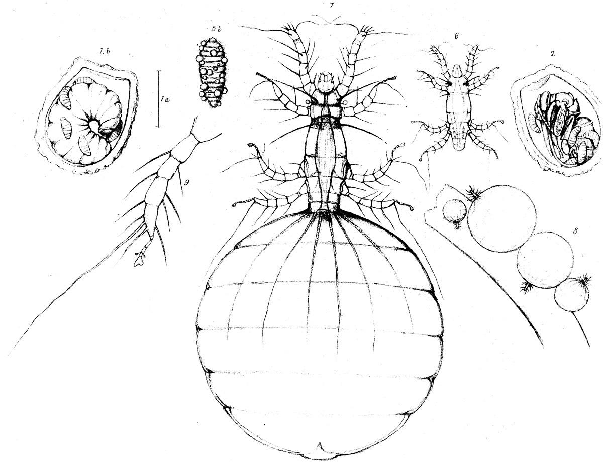 Image of <i>Heteropus ventricosus</i>