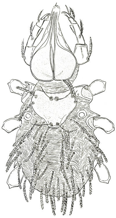 Image of Bee Mite Family