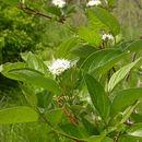 Image of dogwoods