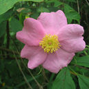 Image of swamp rose