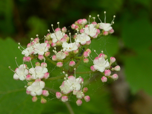Image of mapleleaf viburnum