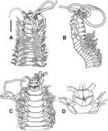 Image of <i>Diopatra marocensis</i> Paxton, Fadlaoui & Lechapt 1995