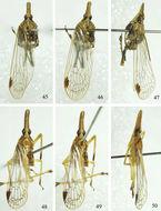 Image of <i>Saigona anisomorpha</i> Zheng, Yang & Chen 2014