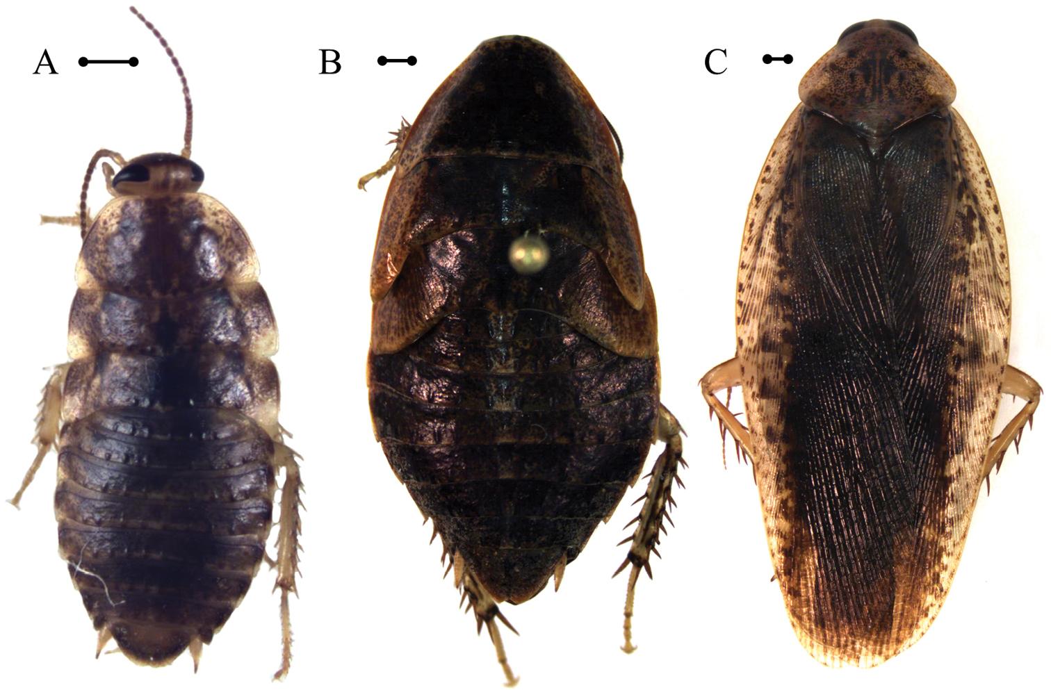 Image of <i>Epilampra opaca</i> Walker & F. 1868