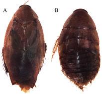 Image of <i>Epilampra sodalis</i> Walker & F. 1868