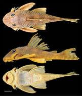 Image of <i>Peckoltia greedoi</i> Armbruster, Werneke & Tan 2015