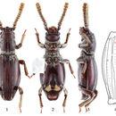 Image of <i>Sarothrias sinicus</i> Bi, Wen-Xuan & Chang-Chin Chen. 2015