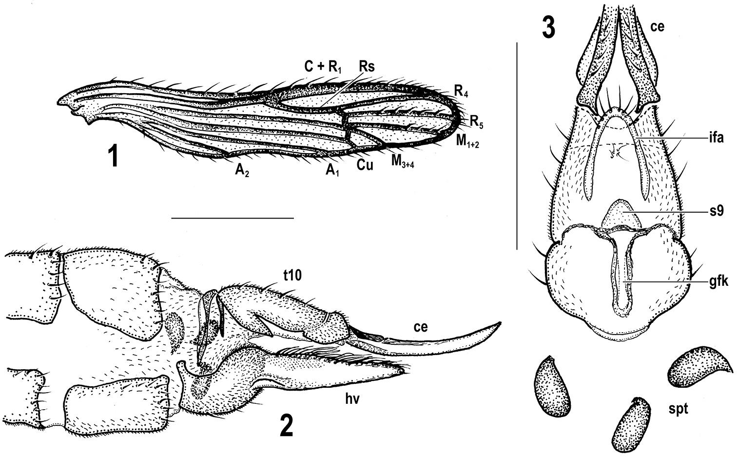 Image of <i><i>Rhabdomastix</i></i> (Rhabdomastix) <i>incapax</i> Starý 2005