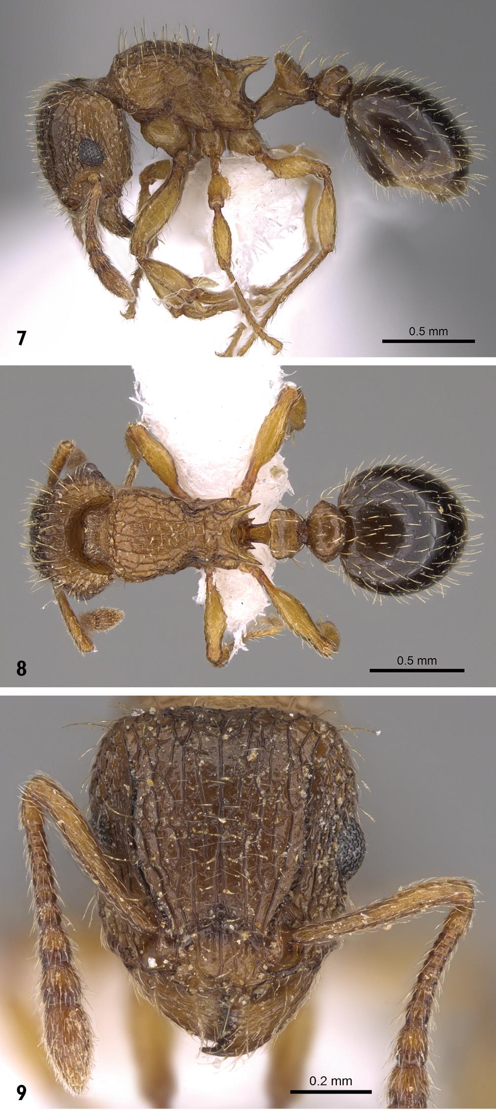 Image of <i>Tetramorium squaminode</i> Santschi 1911