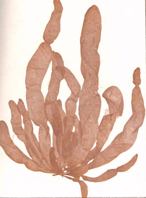 Image of Asperococcus