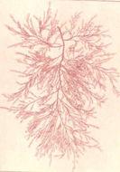 Image of <i>Bonnemaisonia asparagoides</i>