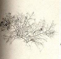 Image of <i>Bostrychia radicans</i>