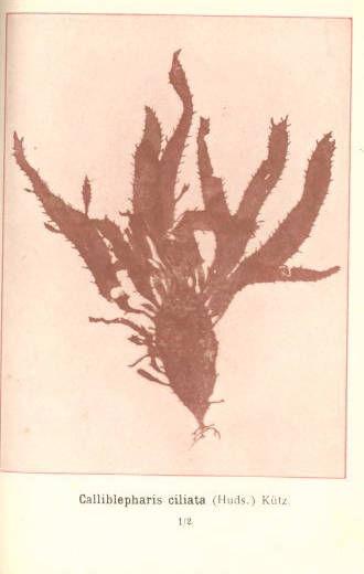 Image of <i>Calliblepharis ciliata</i>