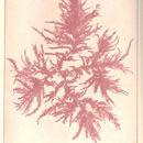 Image of <i>Callithamnion tetragonum</i>