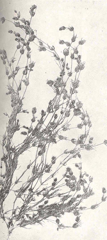 Image of Opposite Stonewort