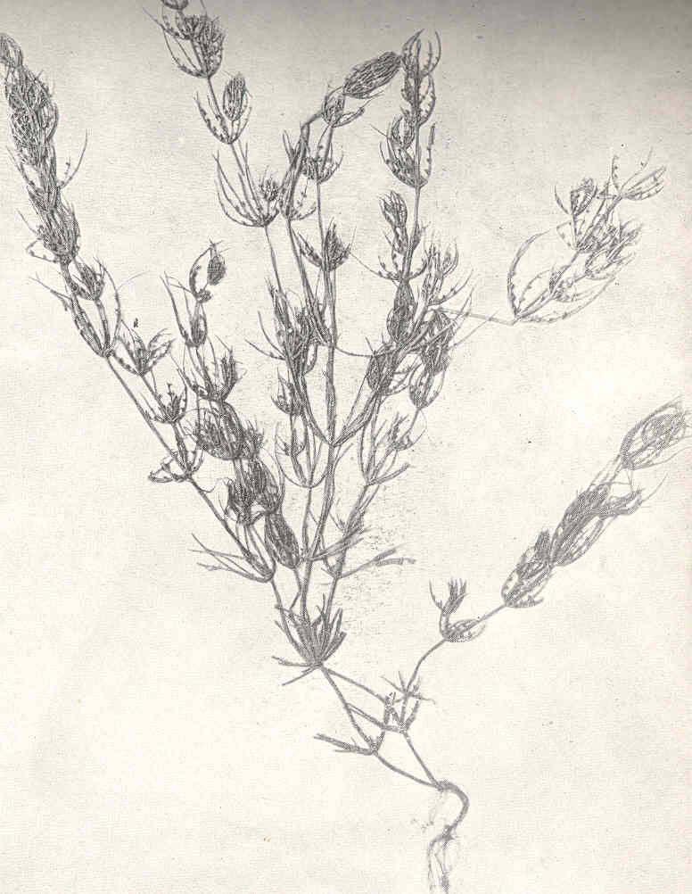 Image of Fragile Stonewort