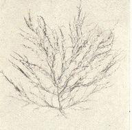 Image of <i>Chondria dasyphylla</i>