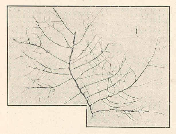 Image of <i>Chondria littoralis</i>