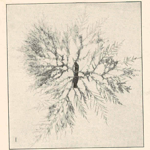 Image of <i>Chondria sedifolia</i> Harvey 1853
