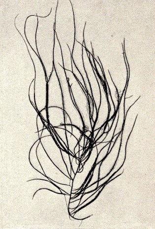 Image of <i>Chordaria flagelliformis</i>