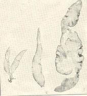 Image of <i>Chrysymenia agardhii</i>