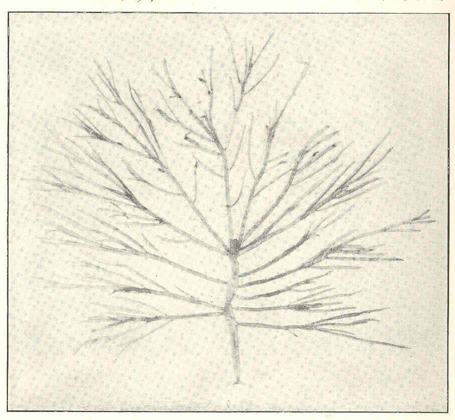 Image of <i>Chrysymenia enteromorpha</i>