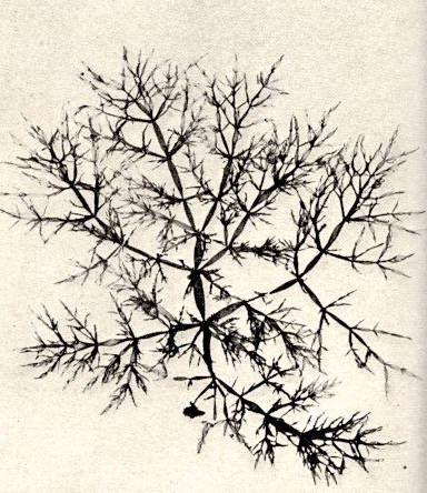 Image of <i>Lomentaria articulata</i>