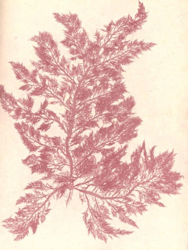 Image of <i>Lomentaria clavellosa</i>